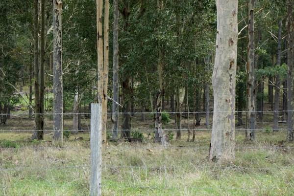 Australia Kangaroos Road Side