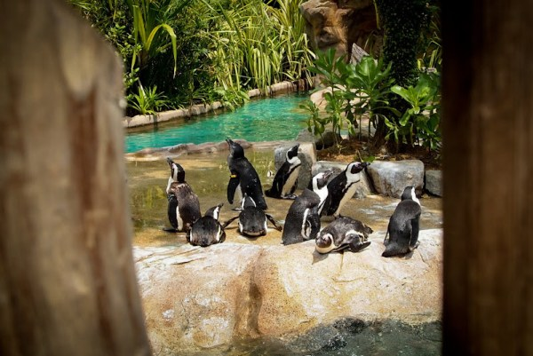 Singapore Penguins