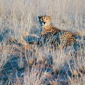 Cheetah at Dawn - Samburu, Kenya_John Gray.jpg
