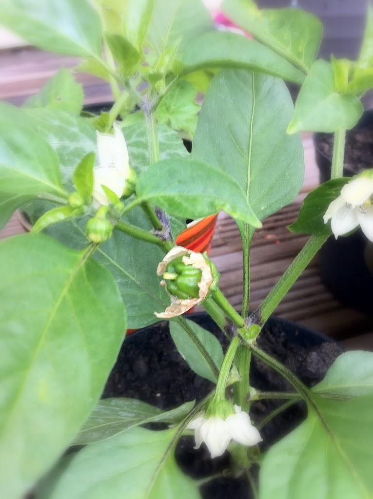 20110613_Pepper