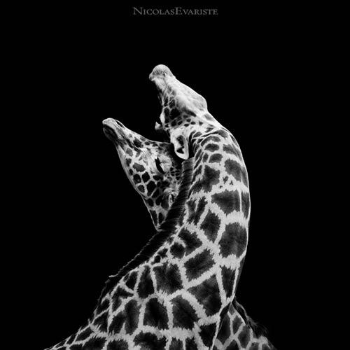 Animales cariñosos: Jirafas