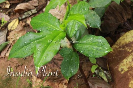 Insulin plant2