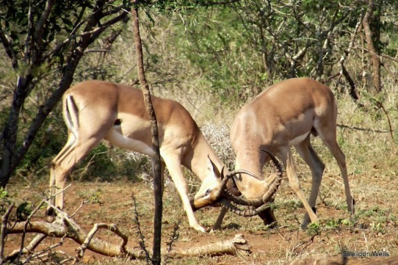 rutting impala at hluhluwe imfolozi game reserve