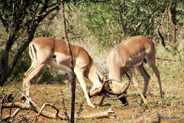 Rutting Impala