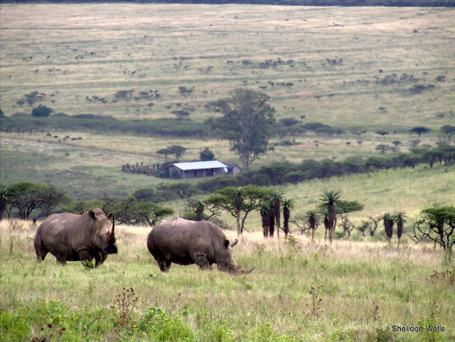 Square Lipped Rhino grazing on the hillside at Tala  Game Reserve