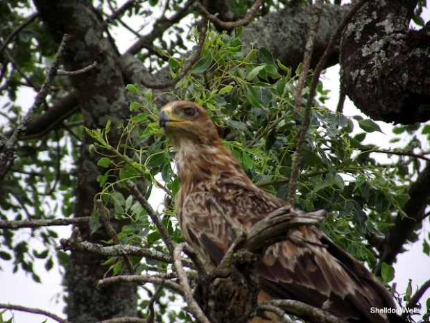 Tawny Eagle in tree of Hluhluwe Imfolozi Game Reserve