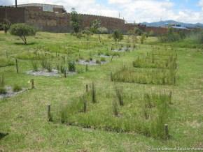 Siembras plantas acuáticas, Humedal La Vaca