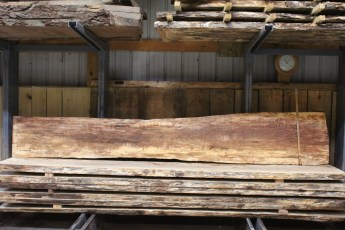 """611 Maple Spalted - 1 10/4x 23"""" x 13"""" Wide x  12'  Long"""