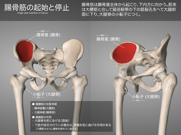 2014-28a_04_腸骨筋の起始停止.png
