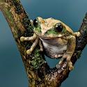 Intermediate 2nd - Peacock Tree Frog_Rod Eva.jpg