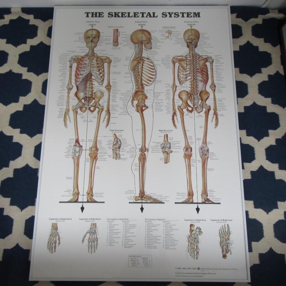medium resolution of large anatomical chart company the skeletal system poster shophousingworks
