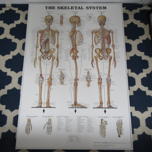 small resolution of large anatomical chart company the skeletal system poster shophousingworks