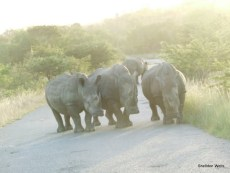 White Rhino at Hluhluwe imfolozi Game Reserve