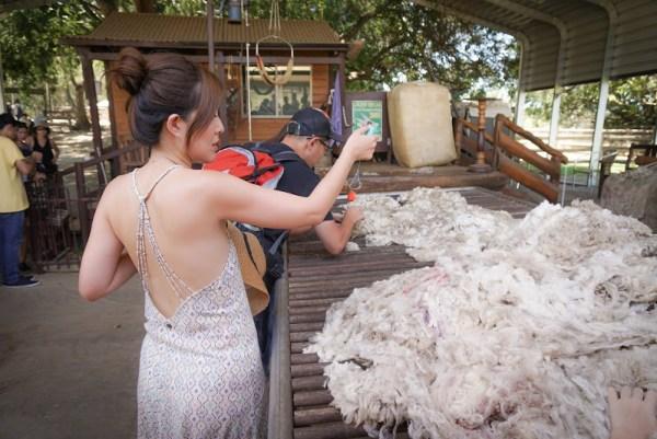 Lone Pine Sanctuary Sheep Show