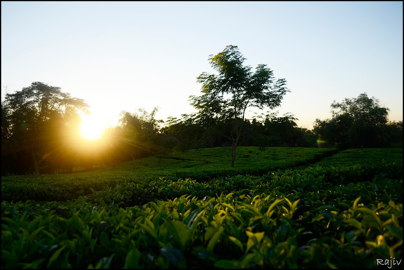 The Setting Sun - Borakhai Tea-Estate, Silchar