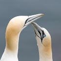 Advanced 2nd - Gannets Bonding_Martin Patten.jpg