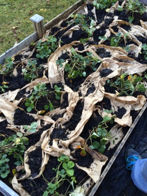 Packing paper is a good material for mulching because it will break down and doesn't have any dyes.