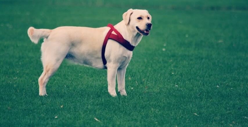 Perro labrador para vivir en familia y con niños