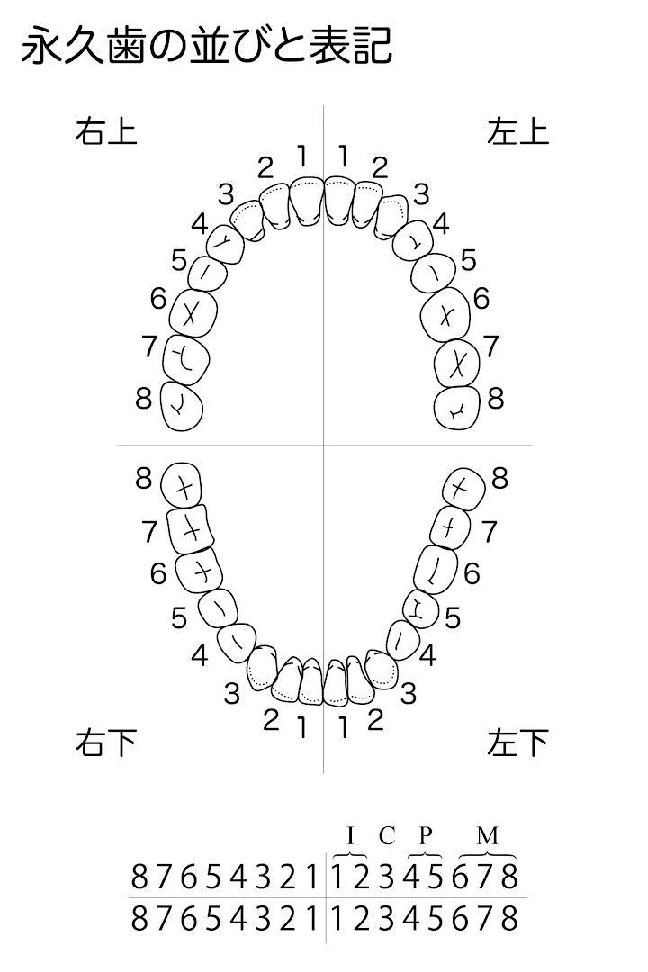 歯式04:永久歯の並びと表記.png