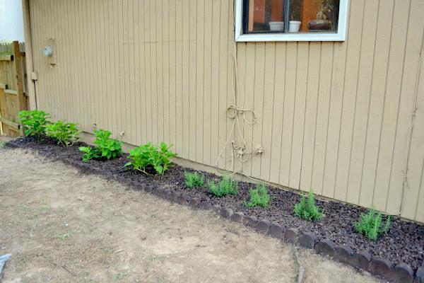 where to plant hydrangeas