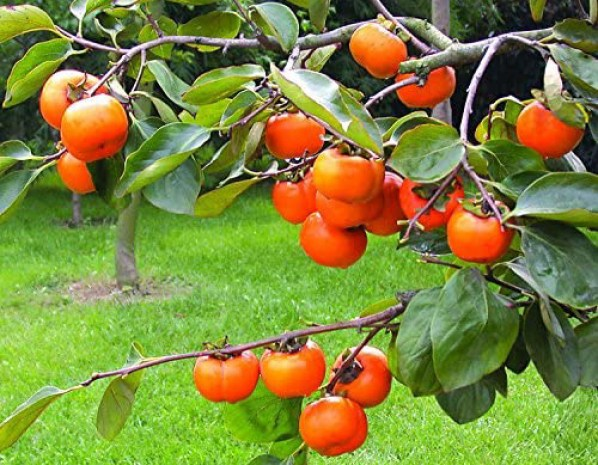 Tendu fruits A benefit to increase face glow by plantsbhh.in