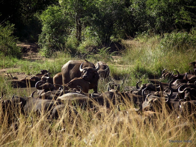 A Obstinacy of buffalo all try to fit into one waterhole at Hluhluwe Imfolozi Game Reserve