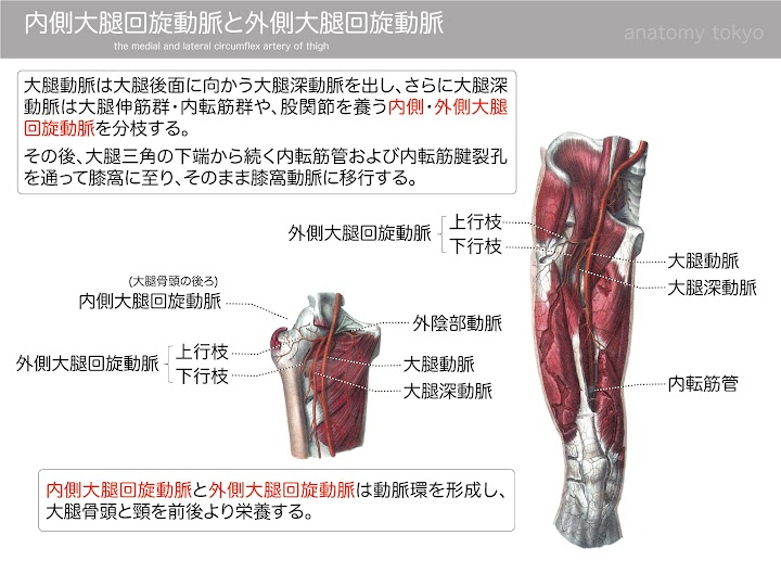 2013-h25-medial-and-lateral-circumflex-artery-of-thigh.jpg