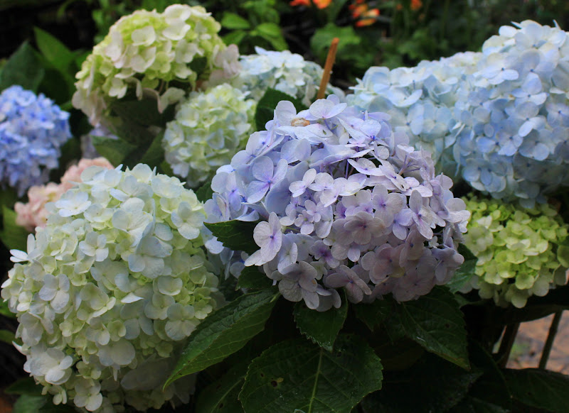 Hydrangea is one of the commercially grown flowers of Da Lat
