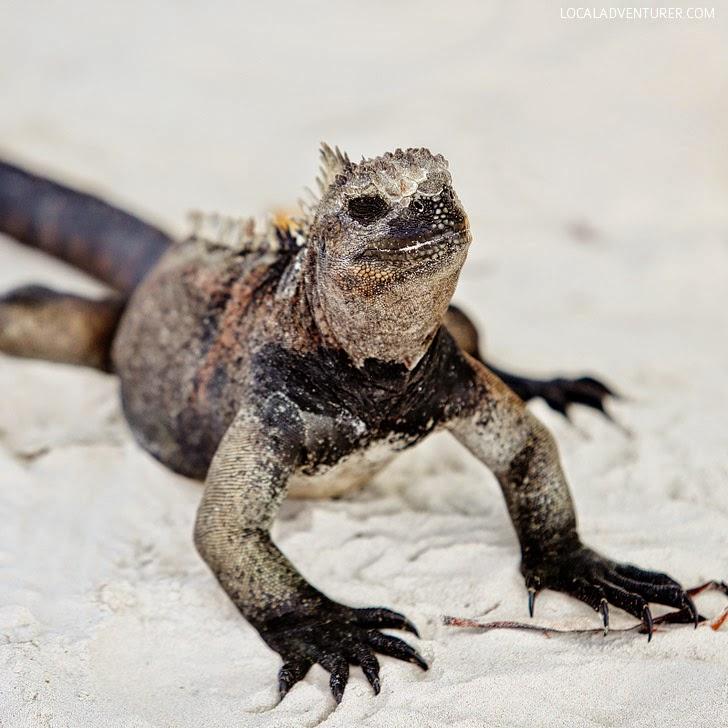 Marine Iguana - Galapagos Animals.