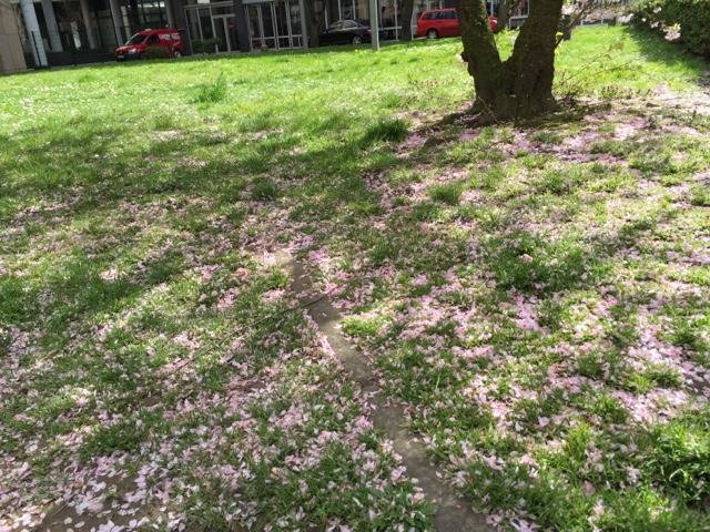 デュッセルドルフの桜1