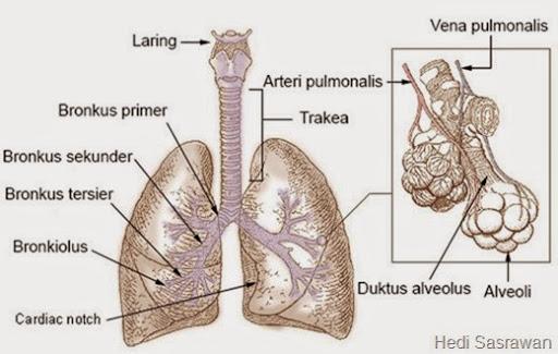 Anatomi ParuParu Artikel Lengkap  Hedi Sasrawan
