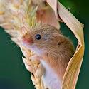 Intermediate 3rd - Harvest Mouse_Rod Eva.jpg