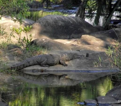 Nile Crocodile at the Hluhluwe Imfolozi Game Reserve