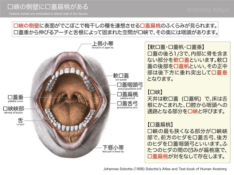 Palatine-tonsils-are-embedded-in-lateral-wall-of-the-fauces.jpg