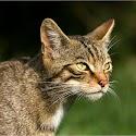 Intermediate 1st-Scottish Wildcat_Elaine Rushton.jpg