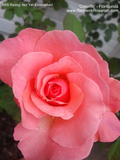 New Rose In My Garden - 'Colorific' Floribunda  (1/2)