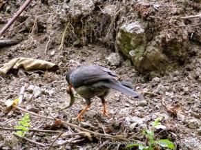 Mirla picoteando una rana en el humedal La Conejera