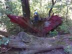 Der Vogel Phoenix
