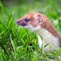 Advanced 3rd - The Elusive Stoat_Martin Patten.jpg