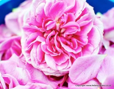2 rose petals 2