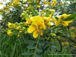Flor de Alcaparro