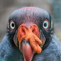 Primary 1st - Gonzo - King Vulture_Bob Long.jpg