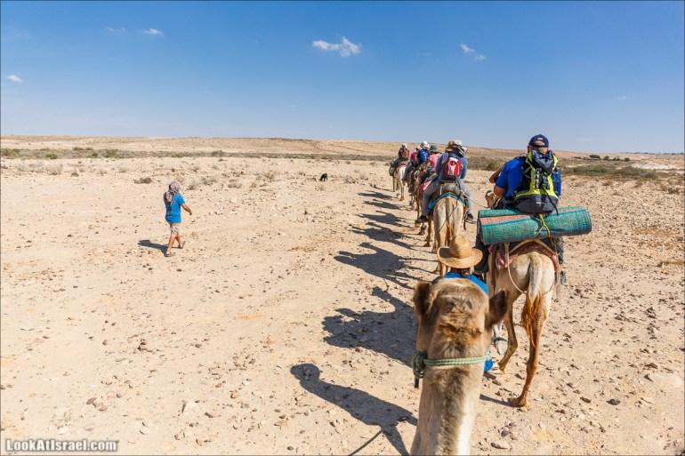 Путешествие на верблюдах по пустыне Негев   Desert trip on camels in Negev   LookAtIsrael.com - Фото путешествия по Израилю