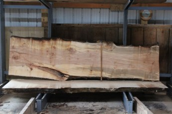 "564  Hard Maple Curly Burly -9 10/4 x  38"" x  29"" Wide x  11'  Long"