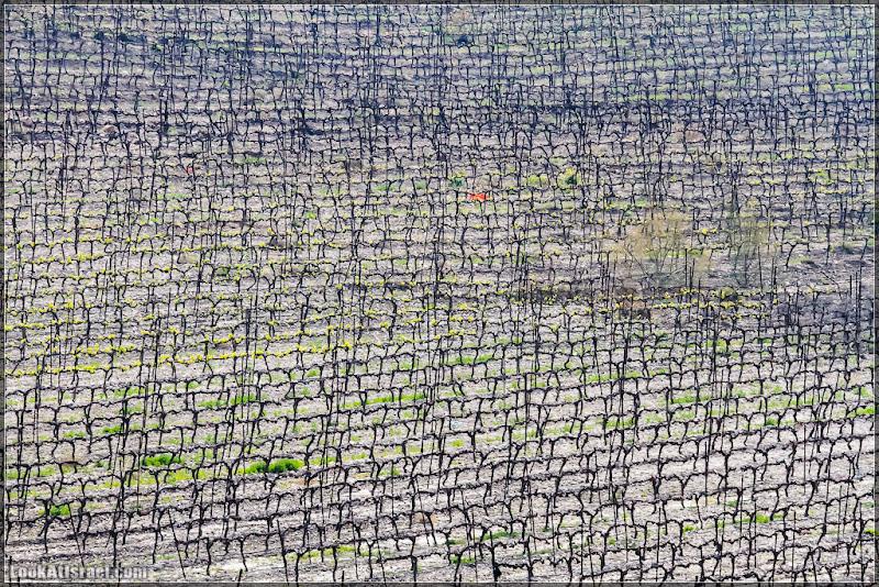 Одно фото / Израиль, Виноградники