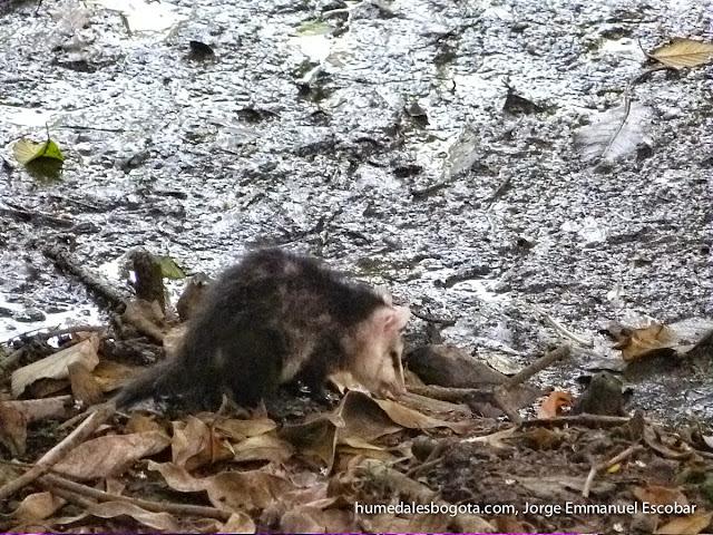 Zarigüeya en la Conejera