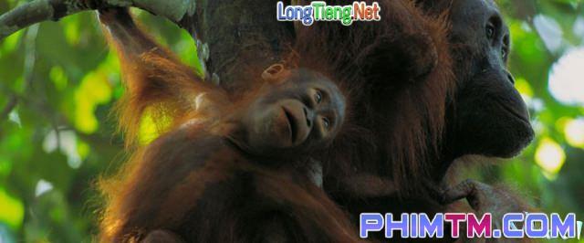 Xem Phim Nhiệm Vụ Cấp Bách: Đười Ươi – Trước Nguy Cơ Tuyệt Chủng - Mission Critical: Orangutan On The Edge - phimtm.com - Ảnh 1
