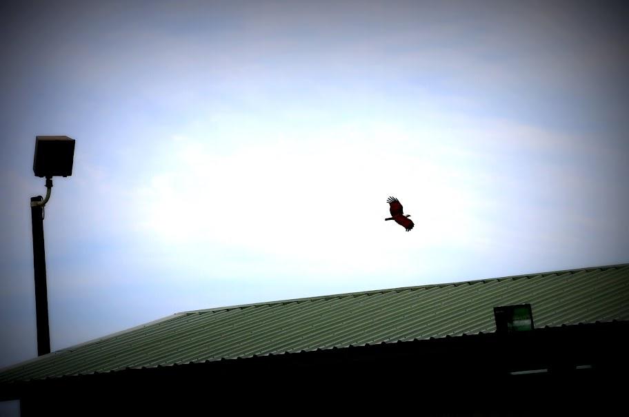 Saya melihat banyak sekali Elang Kepala Botak terbang bebas di kawasan tambang Batu Hijau