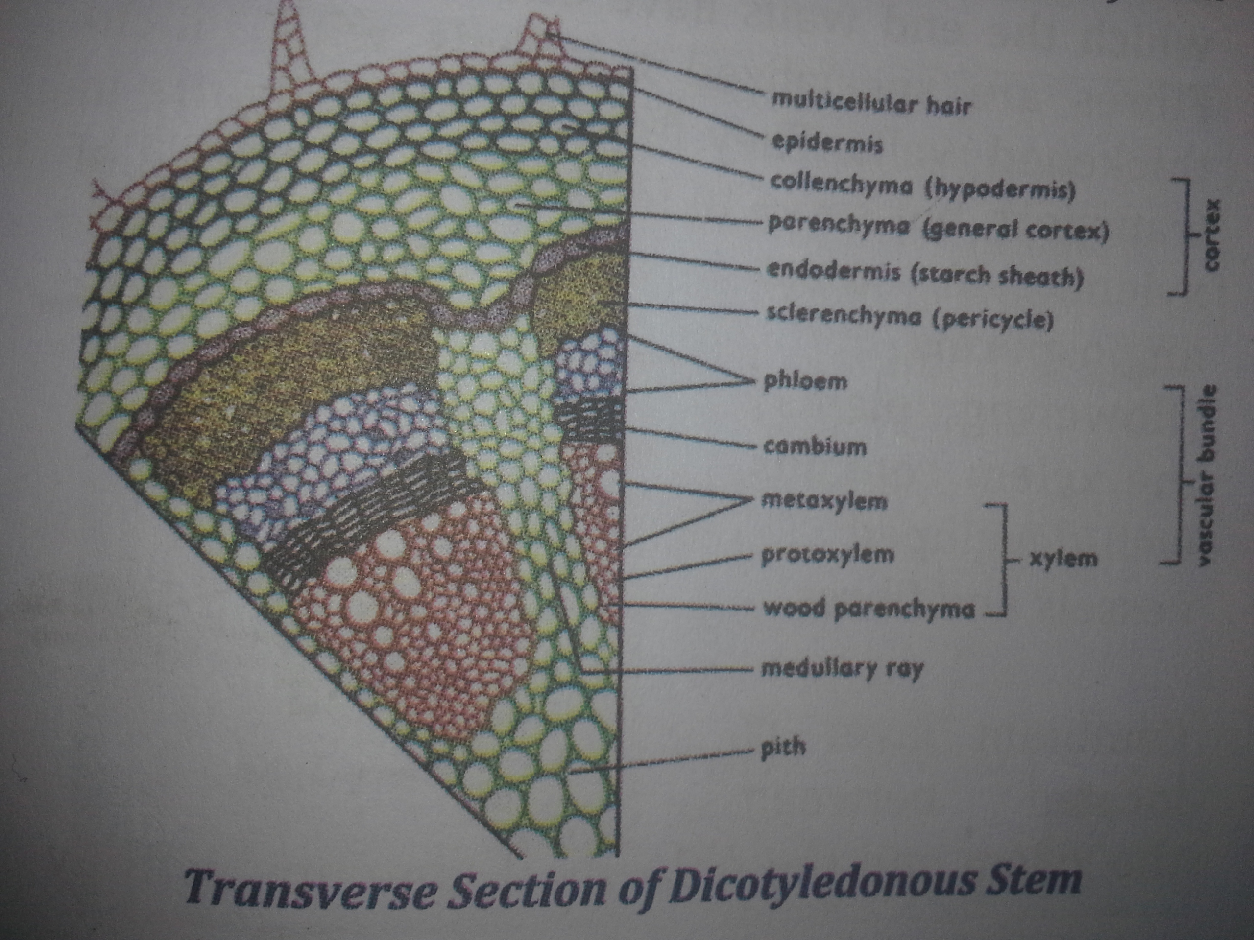 vascular plant diagram l130 mower deck belt internal structures of roots stem and leaves awaycande