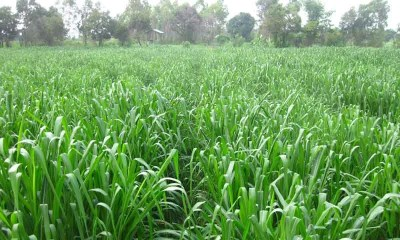 Pakistani scientists takes Revolutionary step in Agriculture by introducing Mombasa grass